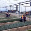 Kozan Belediyesi Kendi Bitkisini Üretiyor