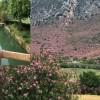 Kozan'da zakkum çiçekleri görsel şölen oluşturdu