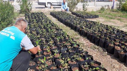 Kozan Belediyesi Turunç Fidanı Üretiyor